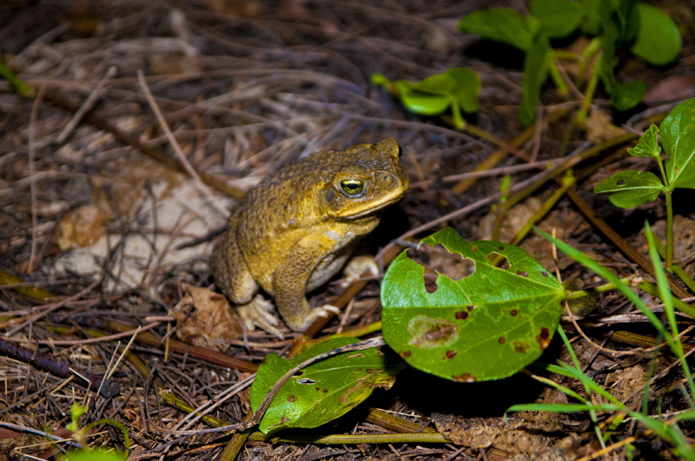 cane toad on fraser island